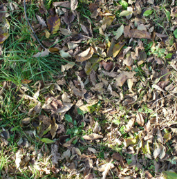 here is ground covered with leaves
